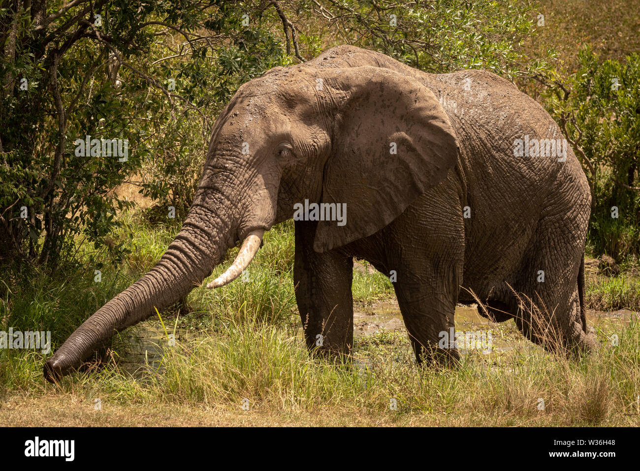 African bush elephant in mud stretching trunk - Stock Image