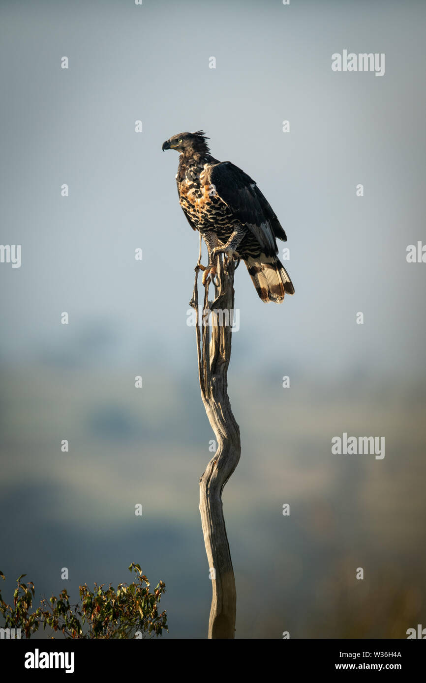 African crowned eagle perches on long stump - Stock Image