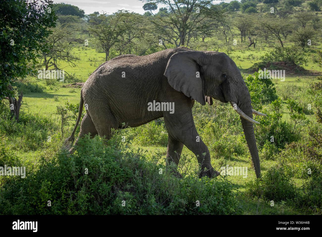 African bush elephant walks past leafy bushes - Stock Image