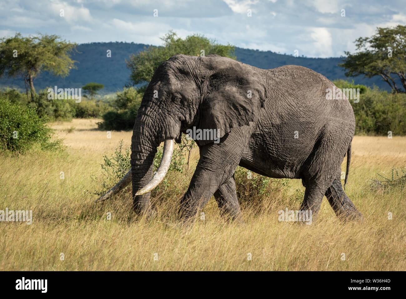 African bush elephant walking through long grass - Stock Image