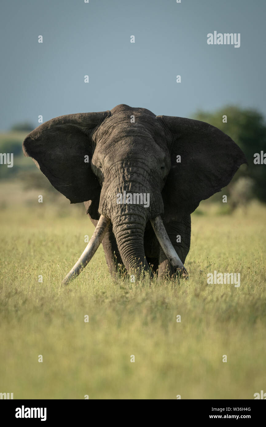 African bush elephant stands eating long grass - Stock Image