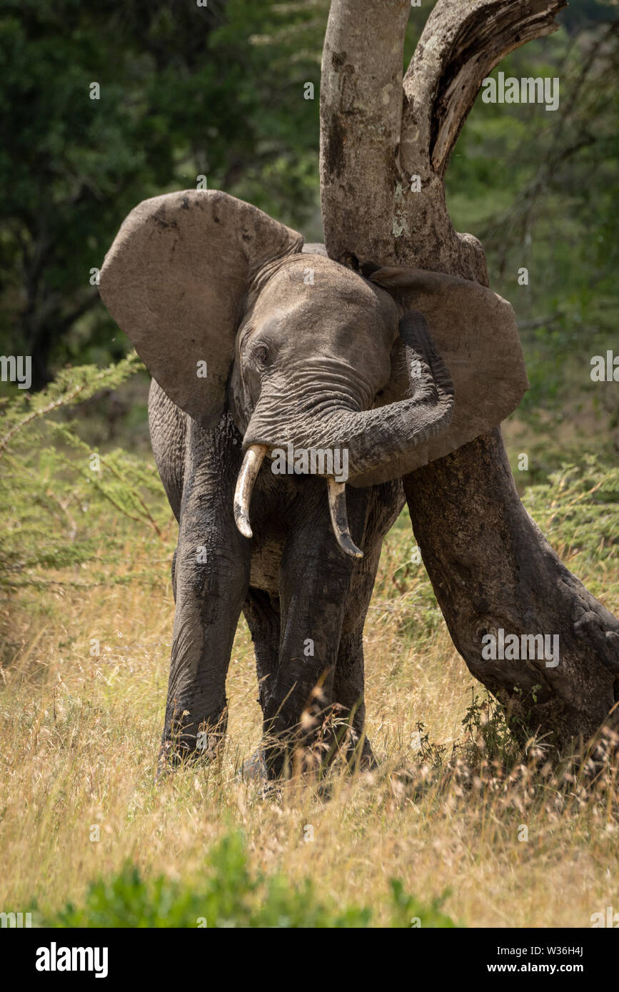 African elephant rubs its head against bent tree - Stock Image