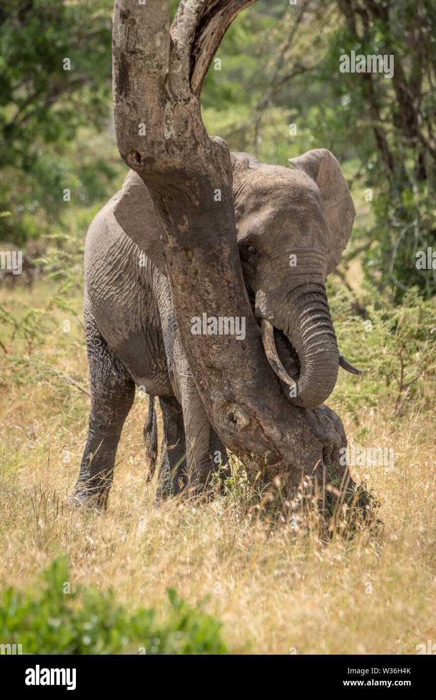 African elephant plays peekaboo behind bent tree - Stock Image