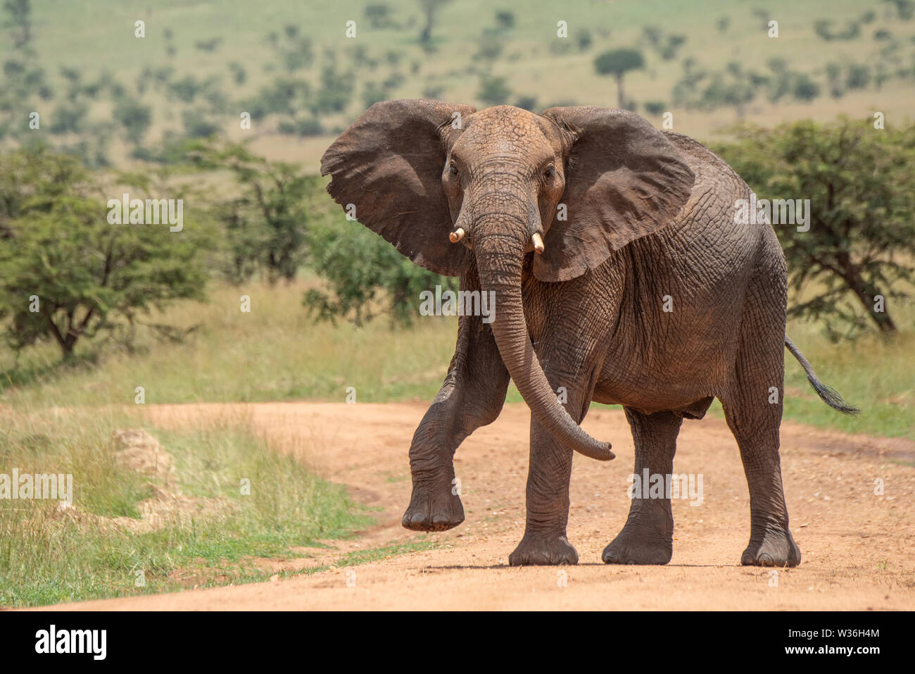 African elephant lifts foot while crossing track - Stock Image
