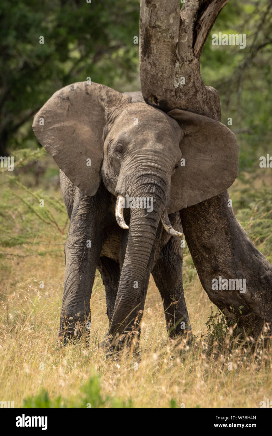 African elephant rubbing its head against tree - Stock Image