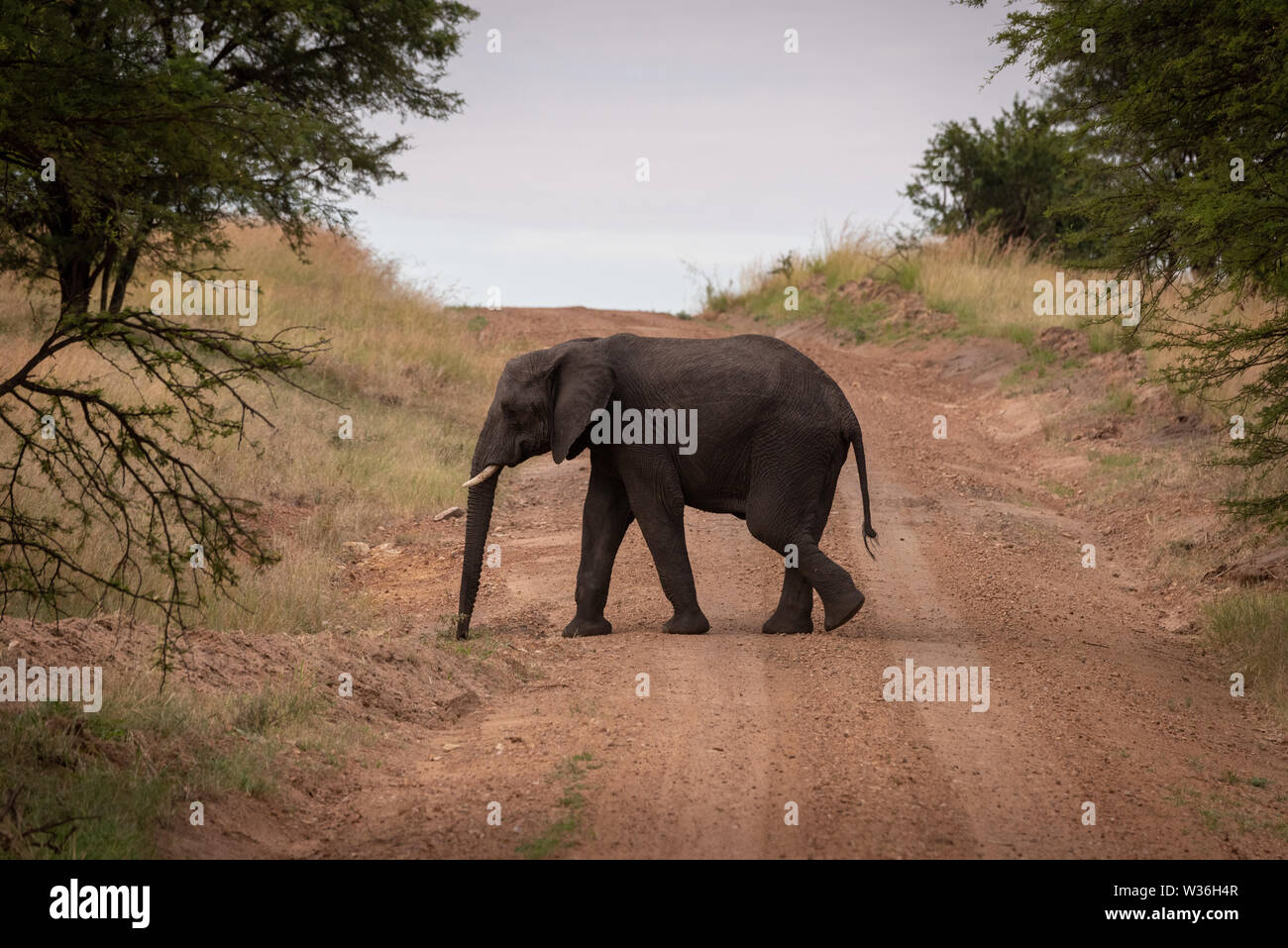 African elephant walks across track between trees - Stock Image