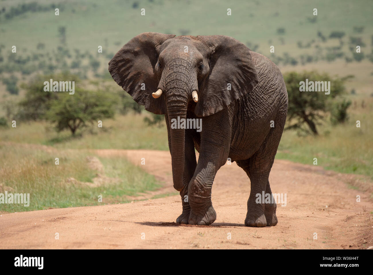 African elephant raises foot while crossing track - Stock Image