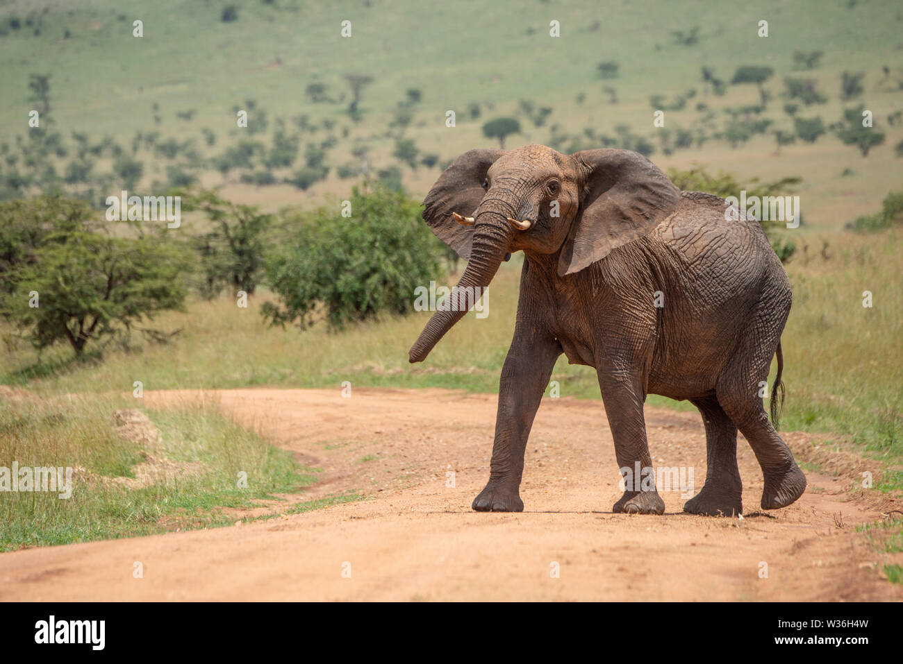 African elephant stands on track lifting head - Stock Image
