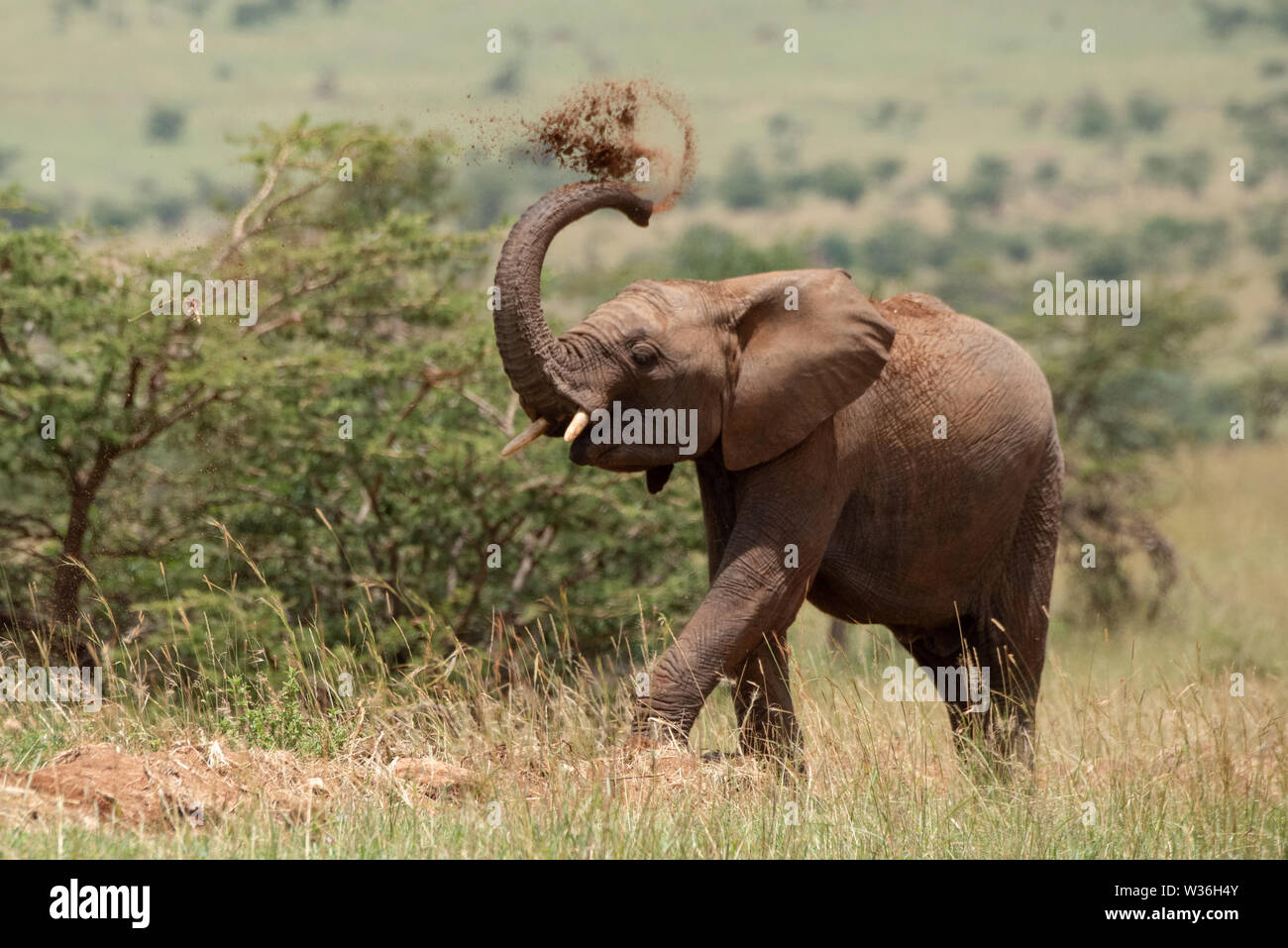 African elephant throws earth over its head - Stock Image