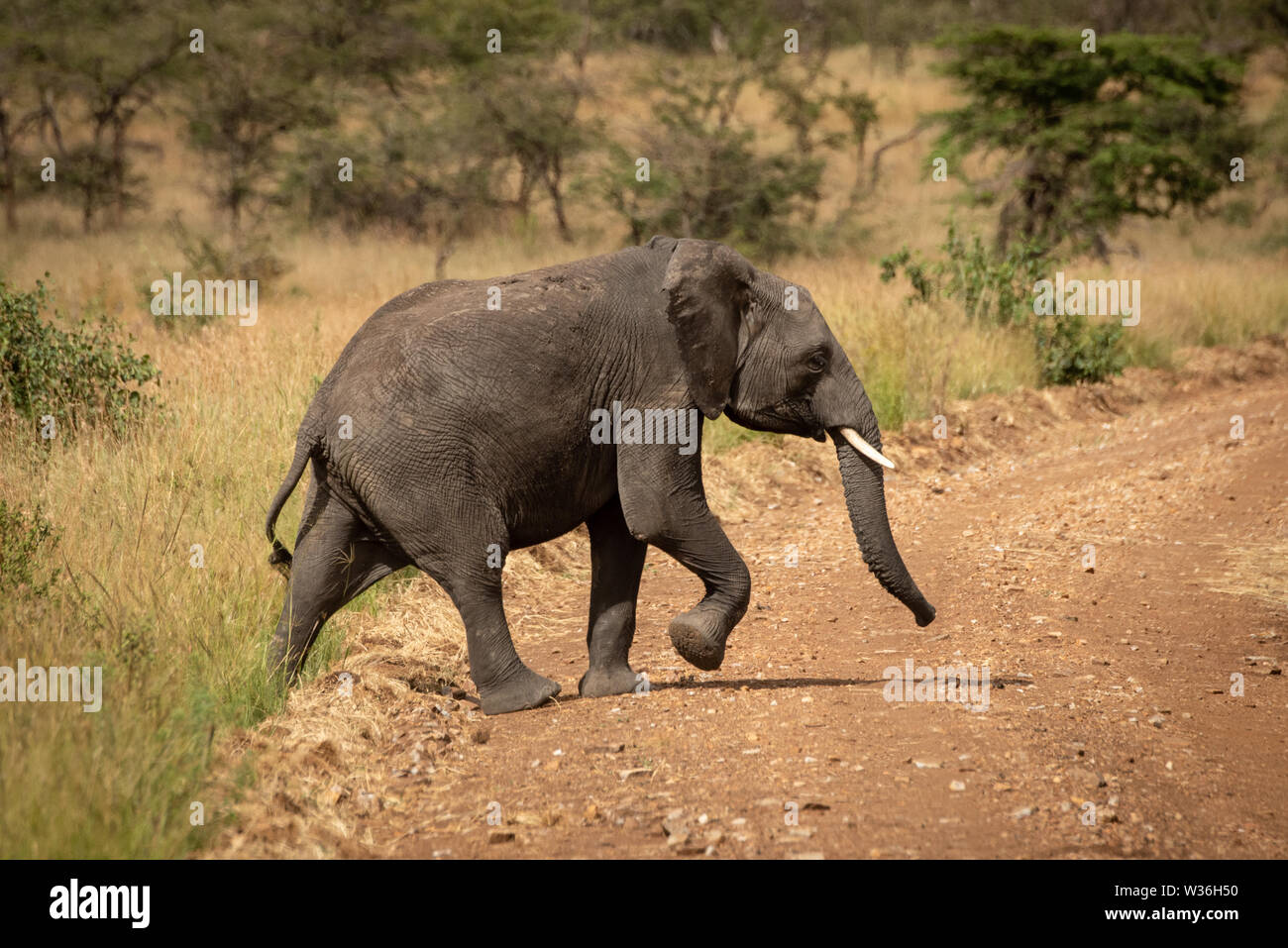 African elephant lifts foot crossing dirt road - Stock Image