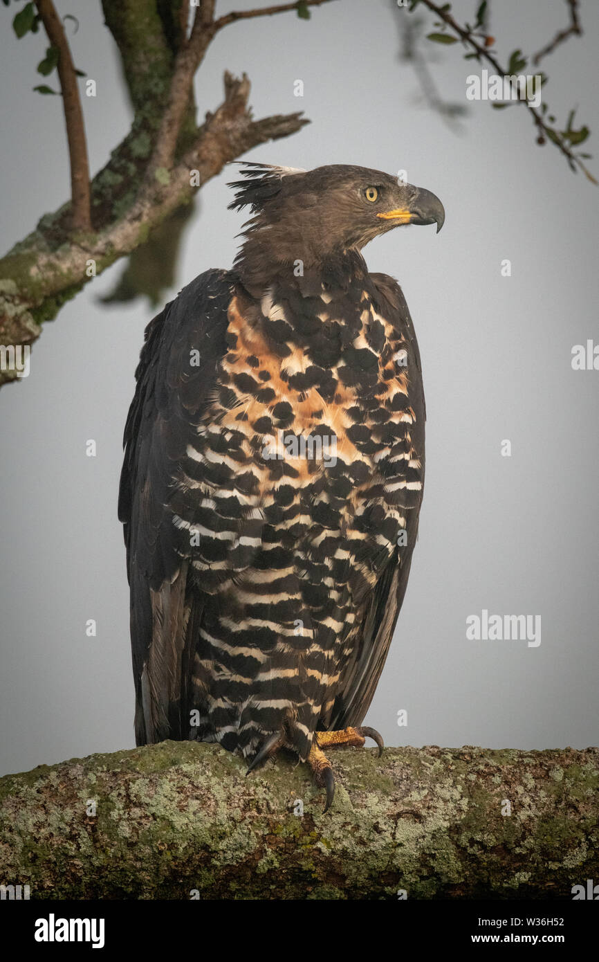 African crowned eagle on branch faces right - Stock Image