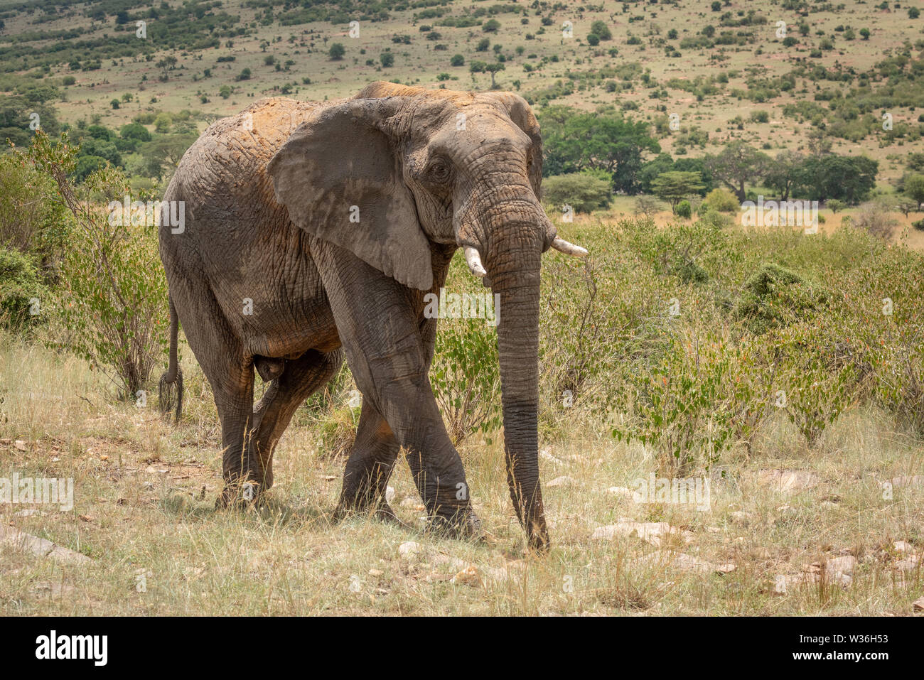 African elephant with dusty back crosses hillside - Stock Image