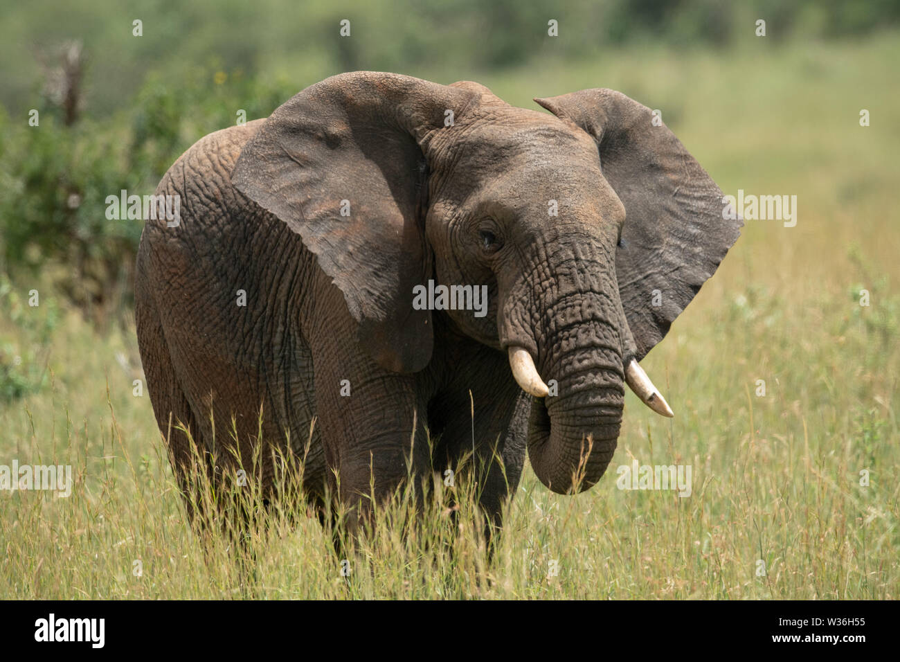 African elephant with chipped tusk in grass - Stock Image