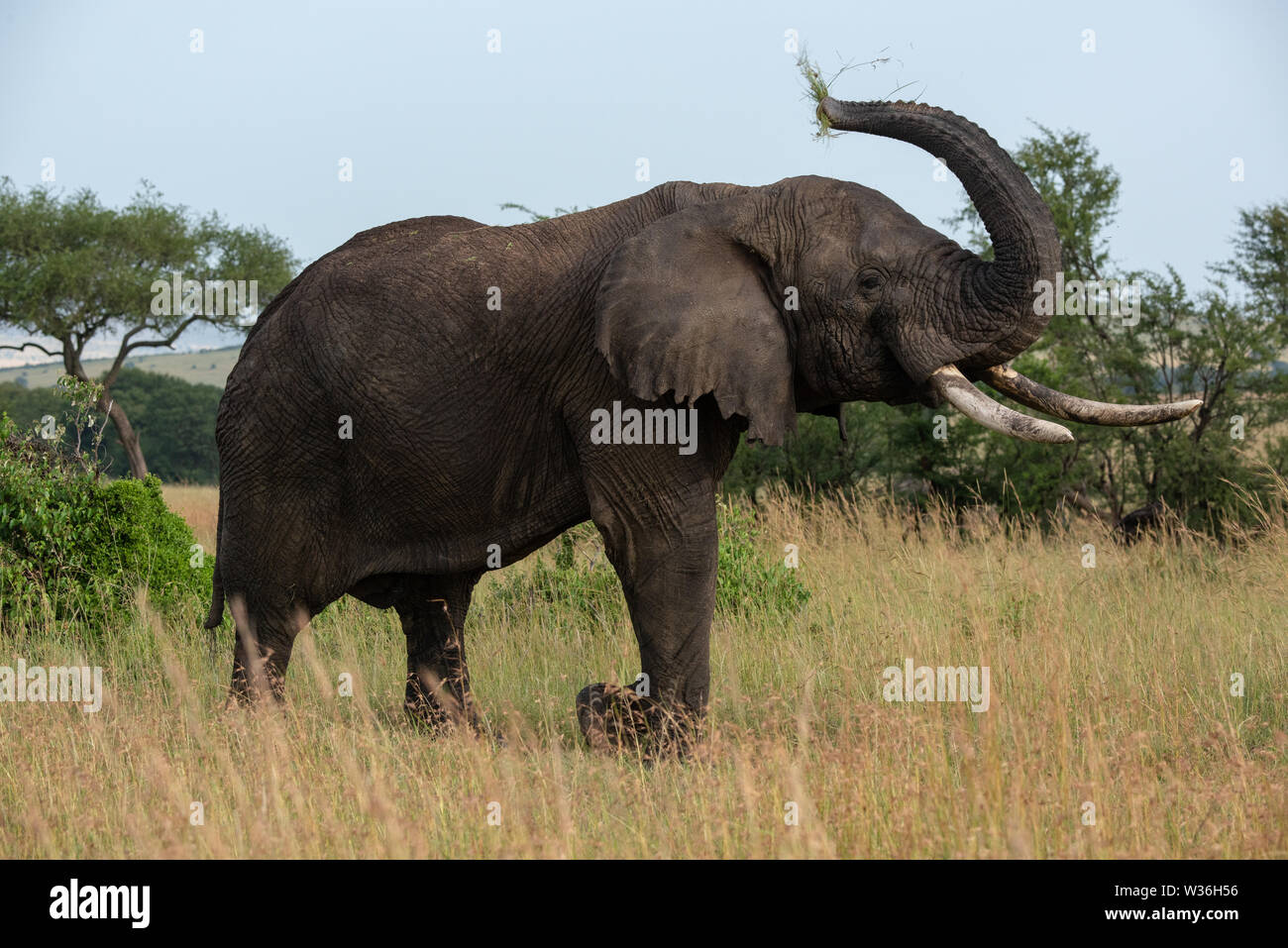 African elephant lifting trunk while eating grass - Stock Image