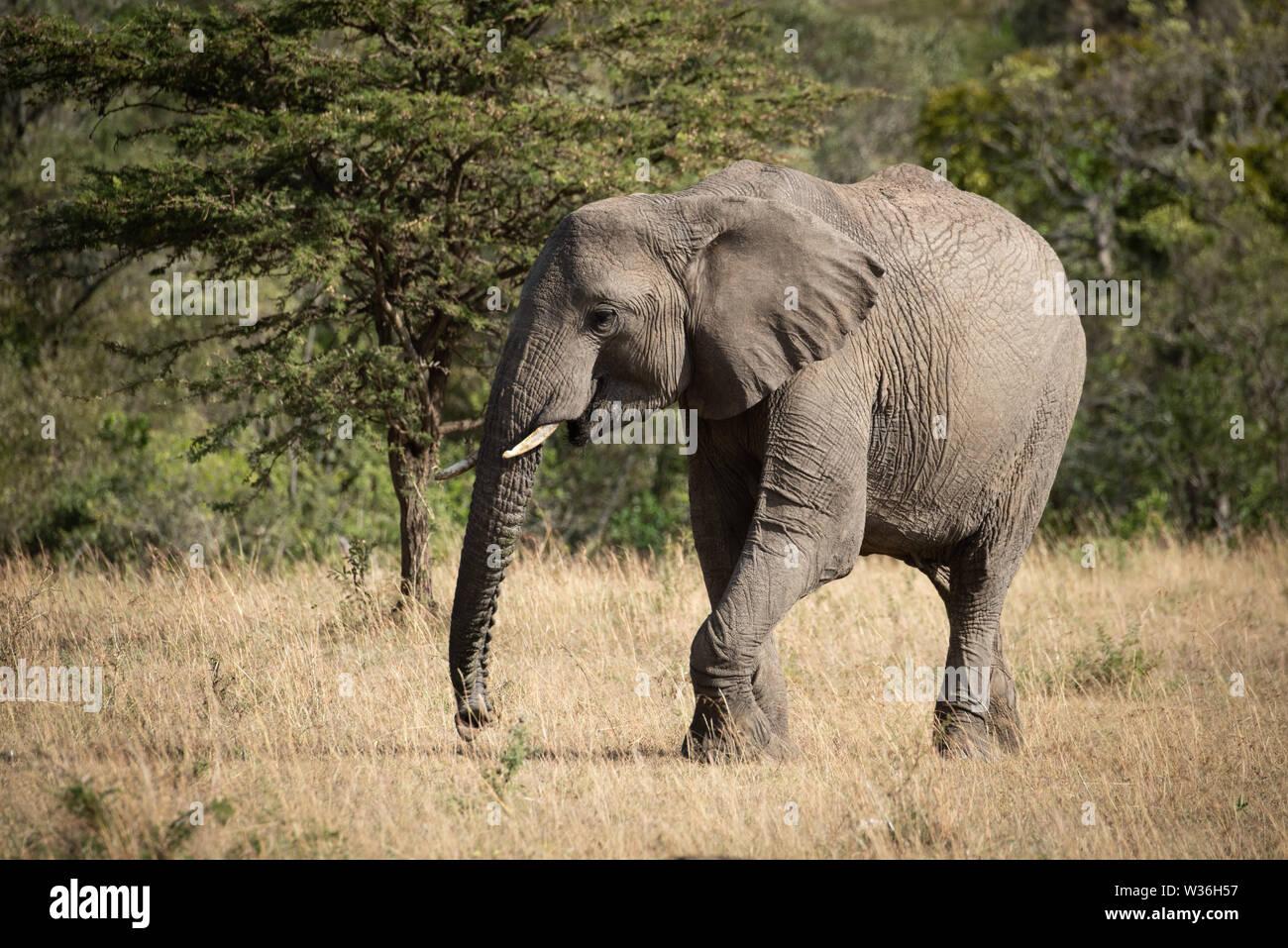 African elephant lifts foot walking across grass - Stock Image