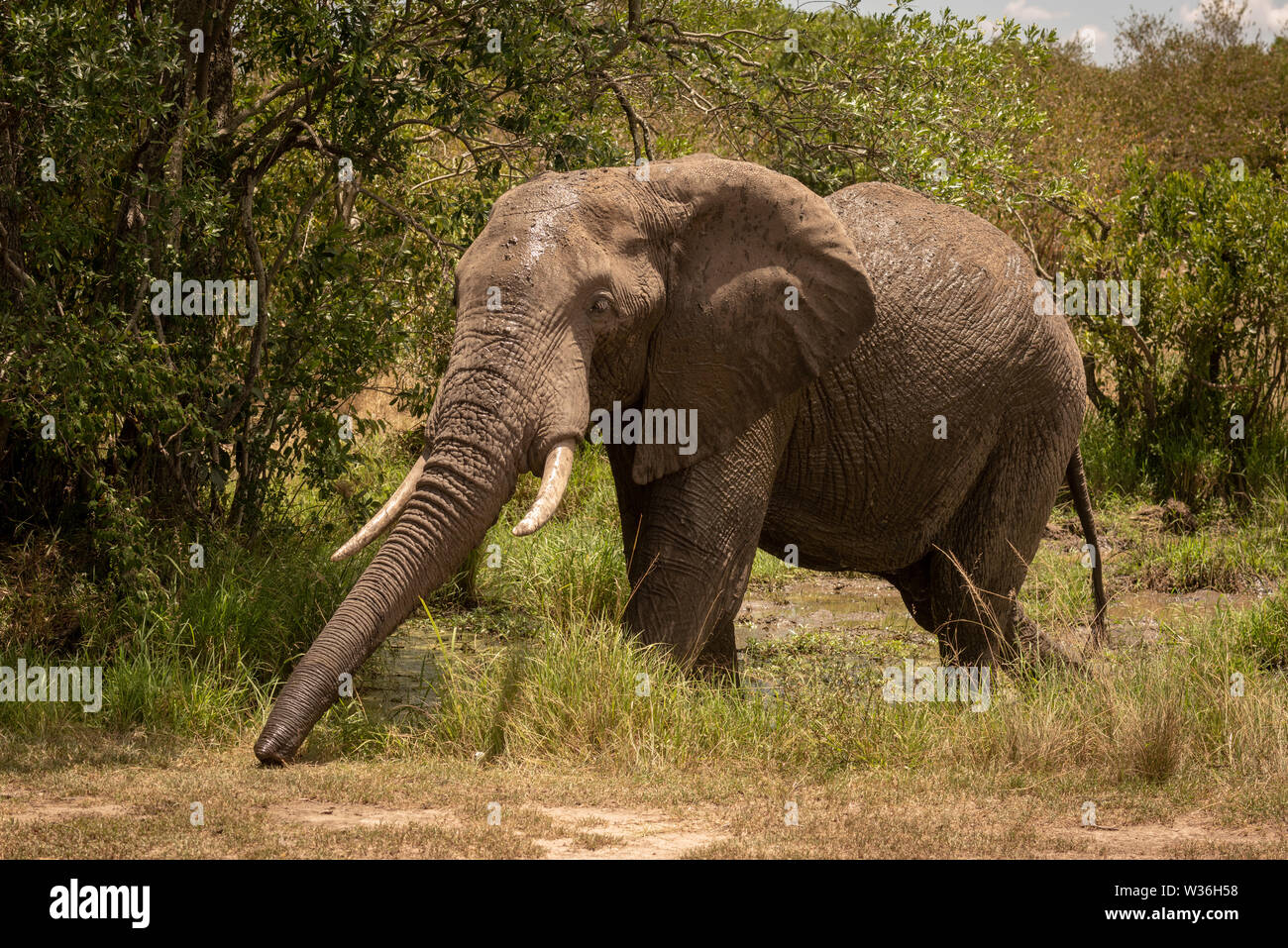 African bush elephant in mud stretches trunk - Stock Image