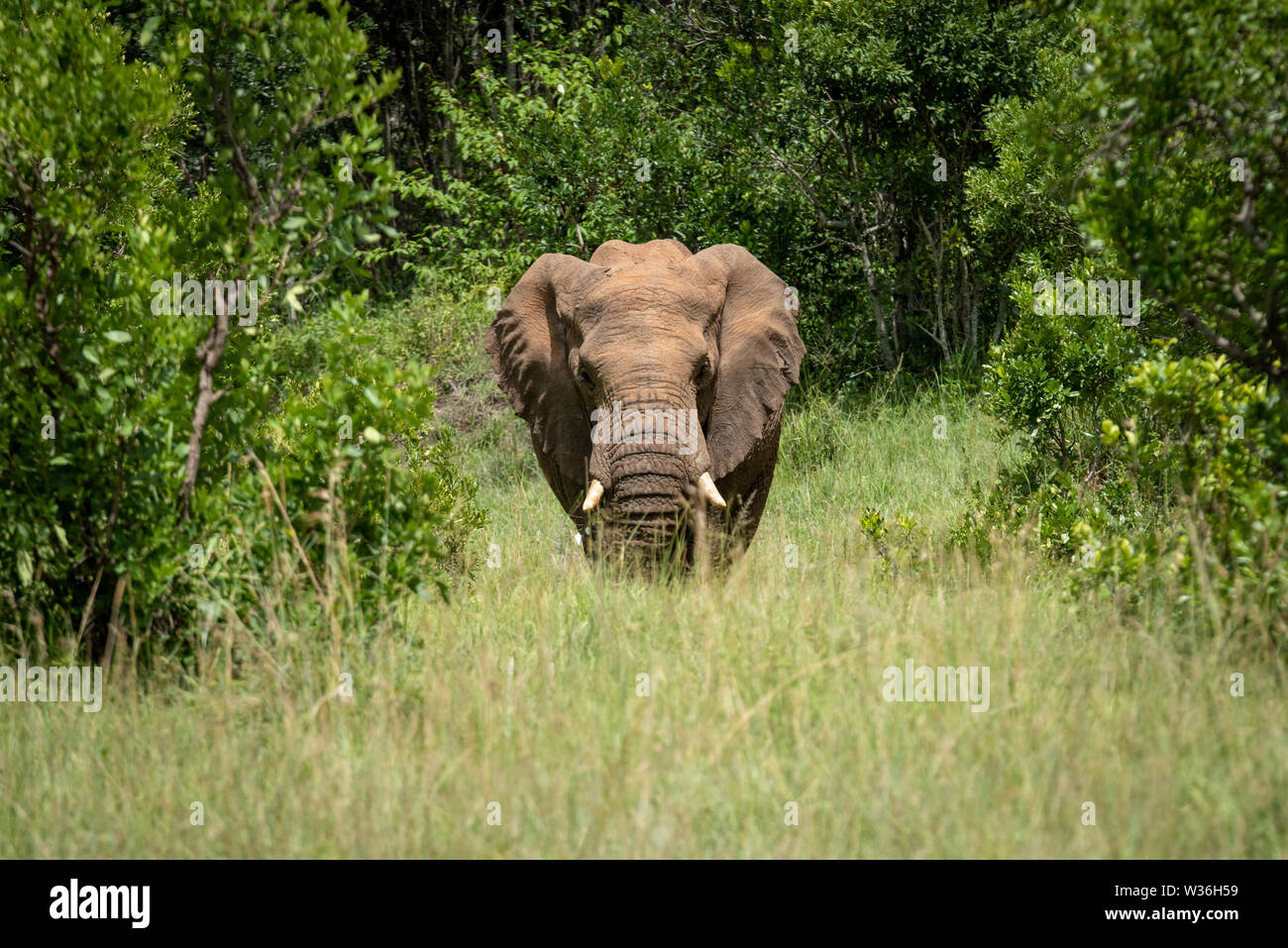 African elephant stands between trees facing camera - Stock Image