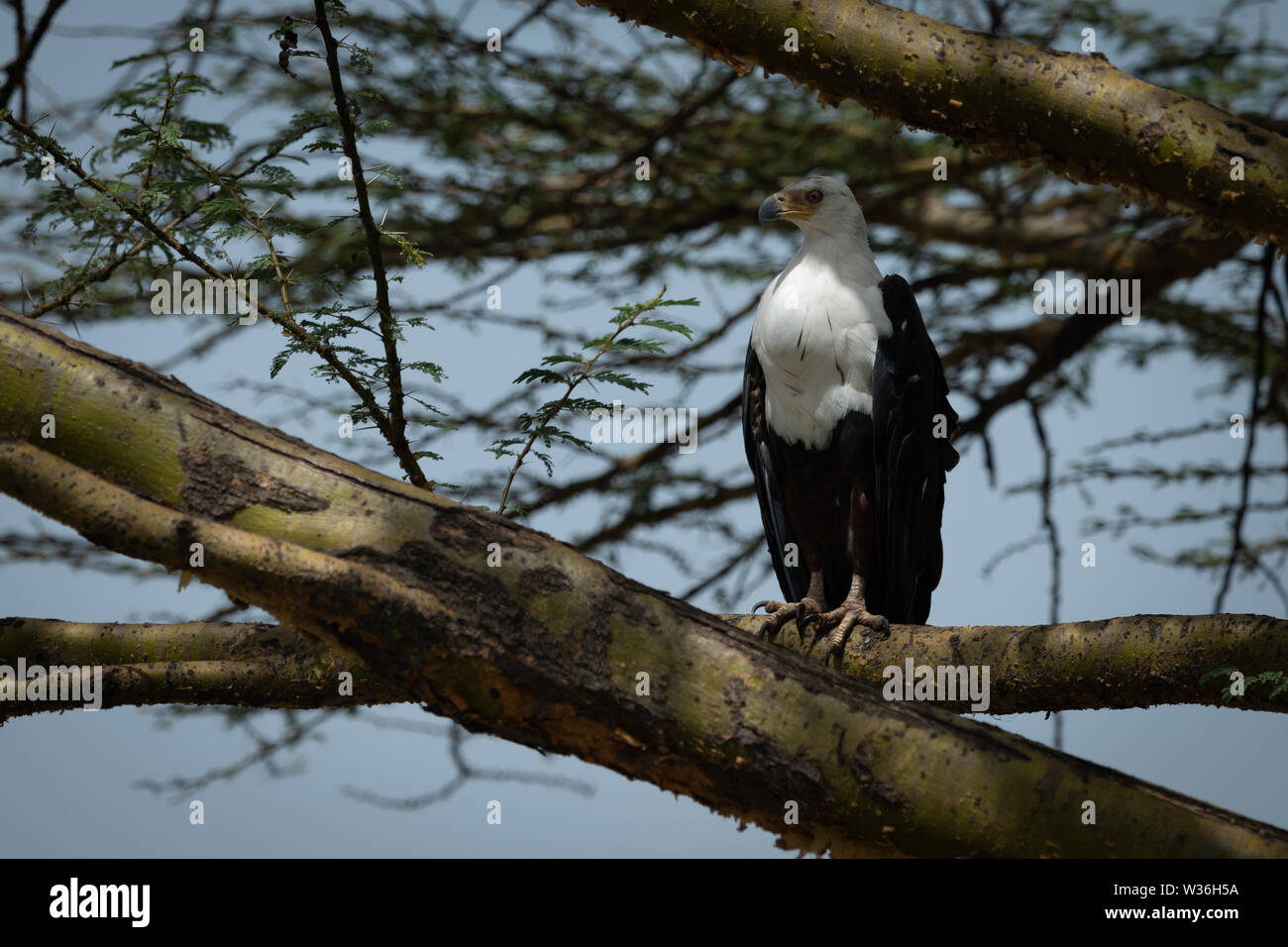 African fish eagle perched on tree branch - Stock Image