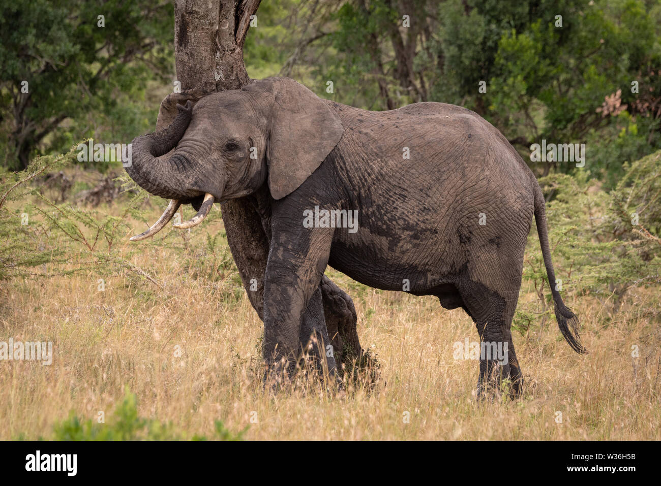African elephant rubbing itself against twisted tree - Stock Image