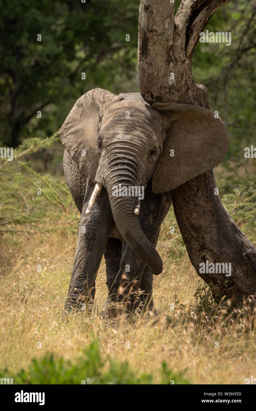 African elephant rubs its head against tree - Stock Image