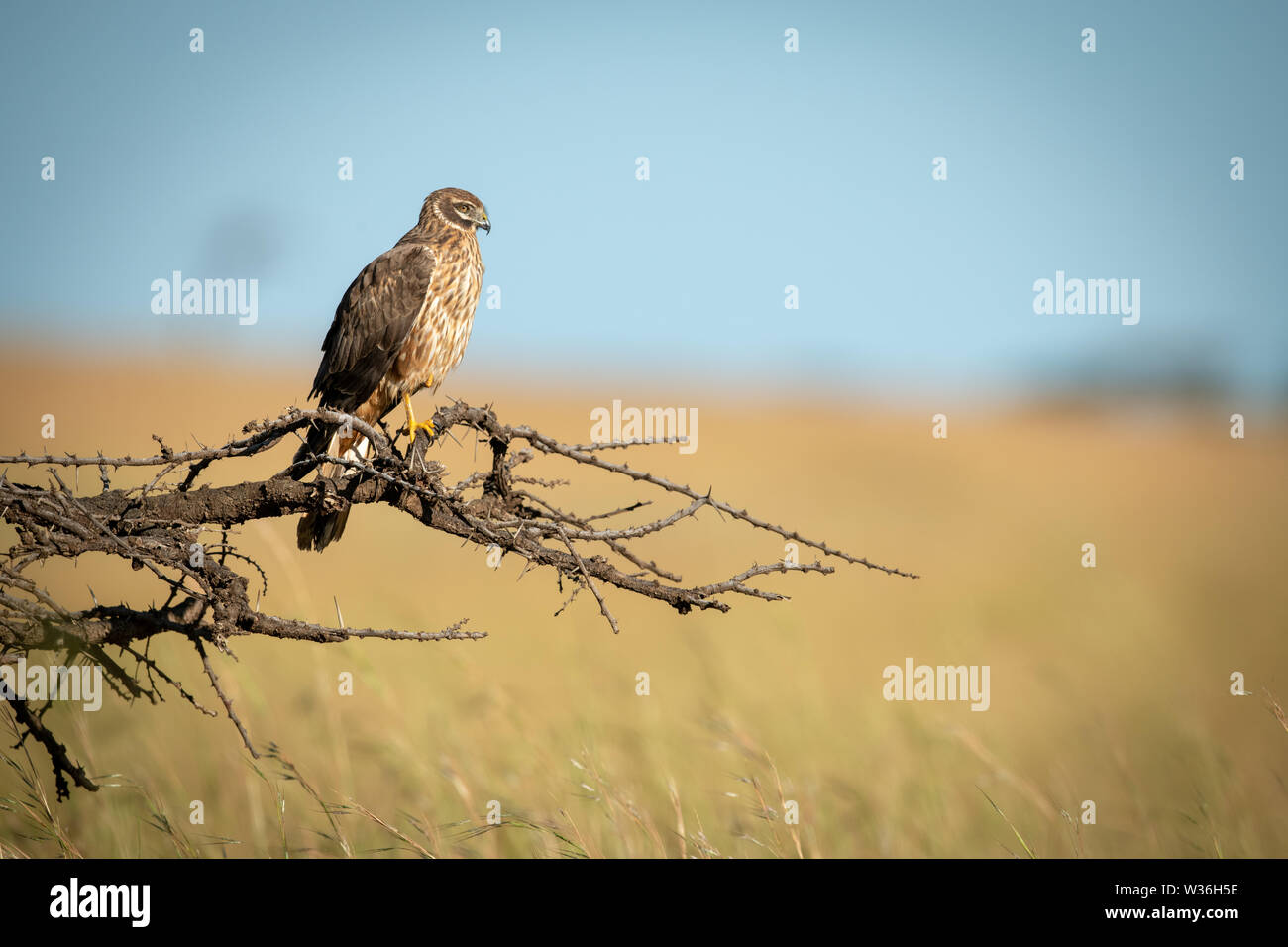 African marsh harrier perched on dead branch - Stock Image