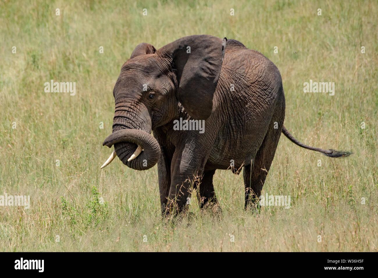 African elephant winding trunk around its tusk - Stock Image