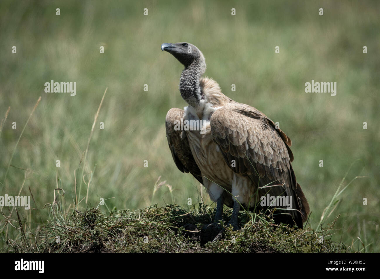 African white-backed vulture on mound looking up - Stock Image