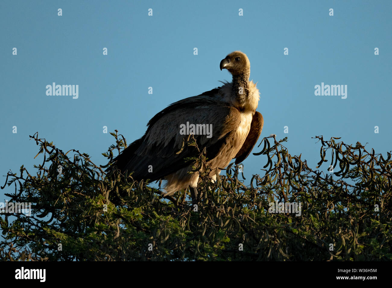 African white-backed vulture in tree turns head - Stock Image