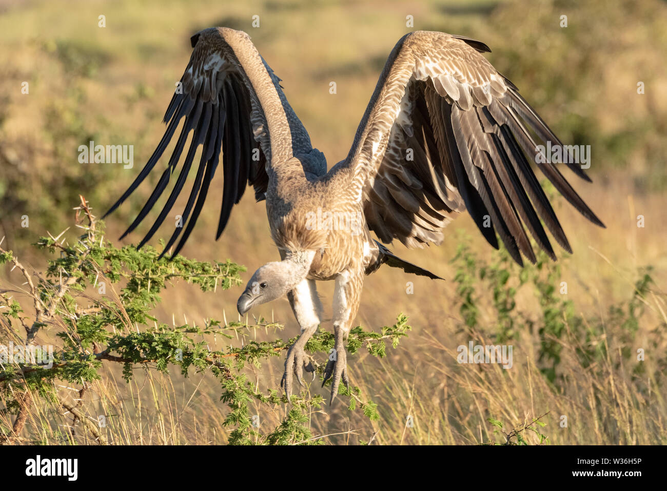African white-backed vulture folds wings to land - Stock Image