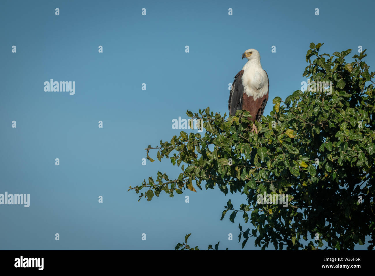 African fish eagle perches in tree looking down - Stock Image