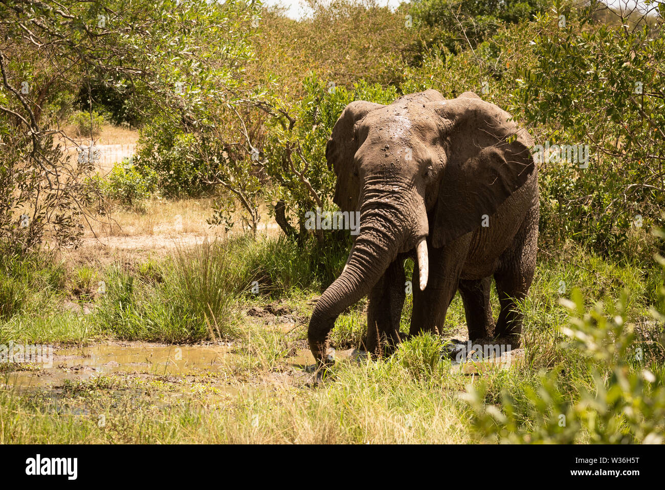 African bush elephant drinks from muddy pool - Stock Image
