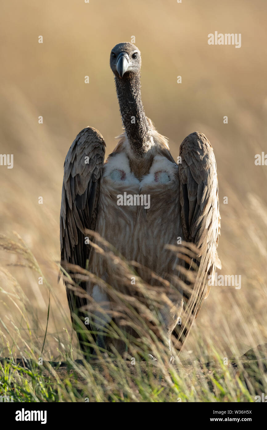 African white-backed vulture eyeing camera in grass - Stock Image