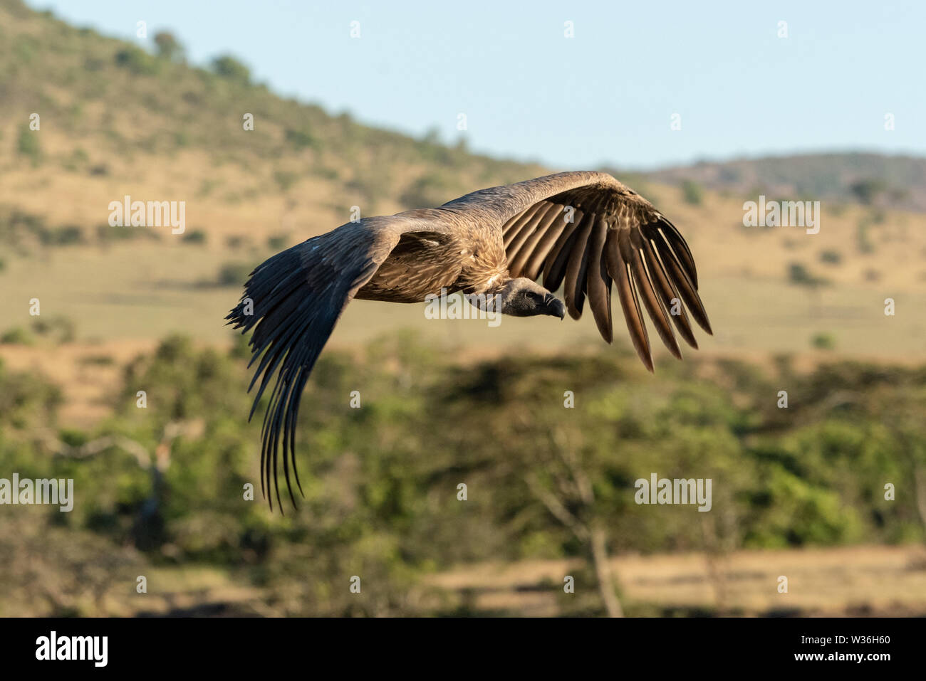 African white-backed vulture flies over wooded savannah - Stock Image