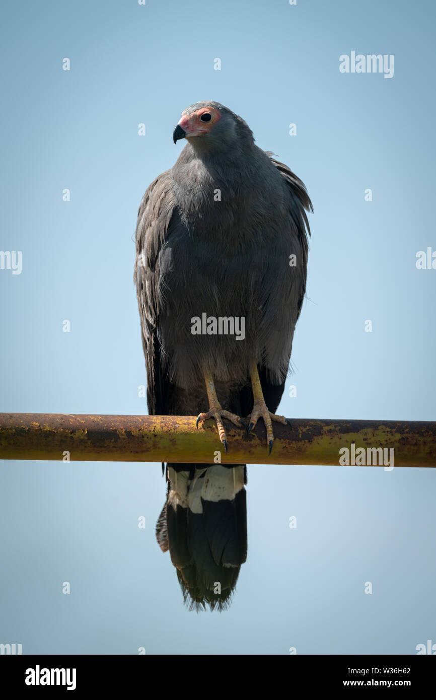 African harrier-hawk on railing facing left - Stock Image