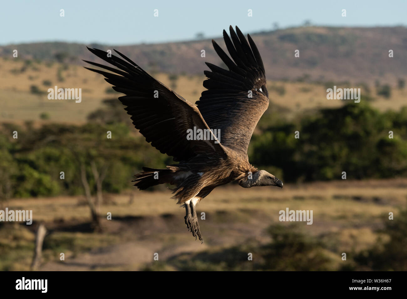 African white-backed vulture coming in to land - Stock Image