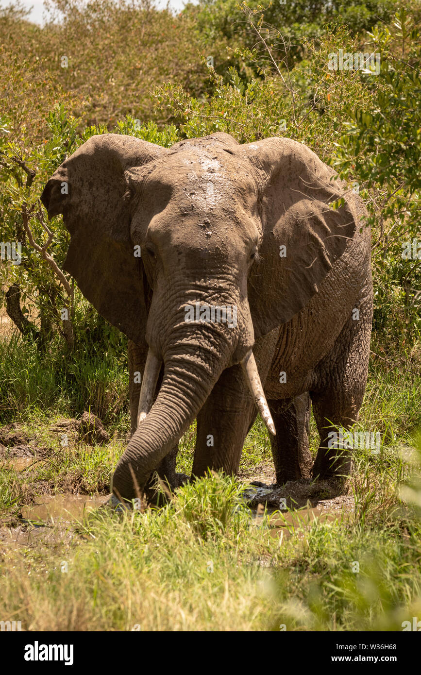 African bush elephant drinking from muddy pool - Stock Image
