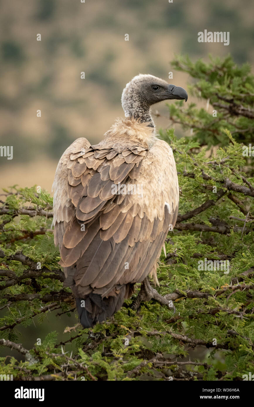 African white-backed vulture in tree looking right - Stock Image