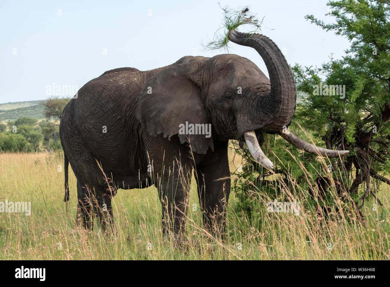 African elephant throws grass upwards with trunk - Stock Image