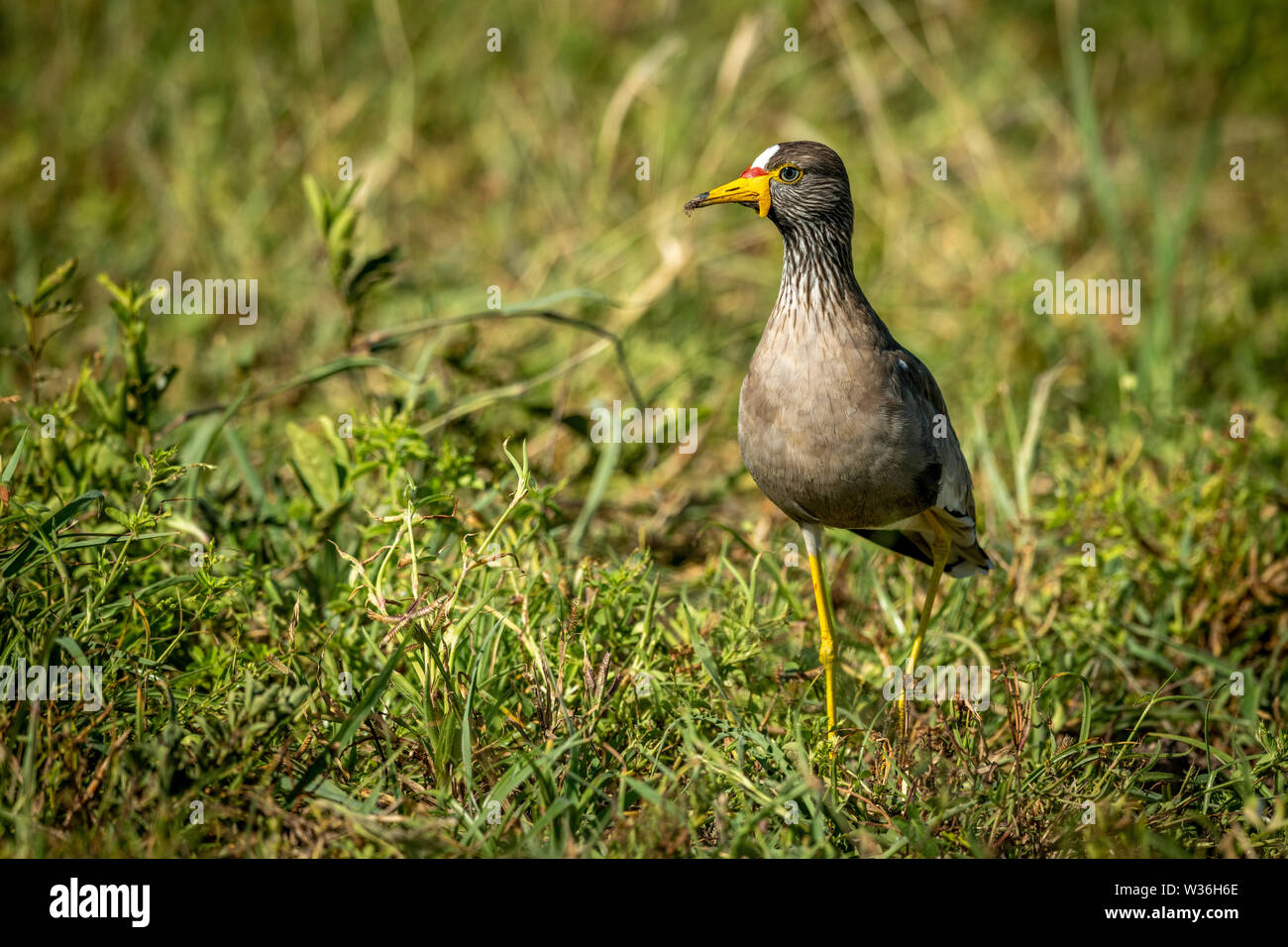 African wattled lapwing in grass eyeing camera - Stock Image