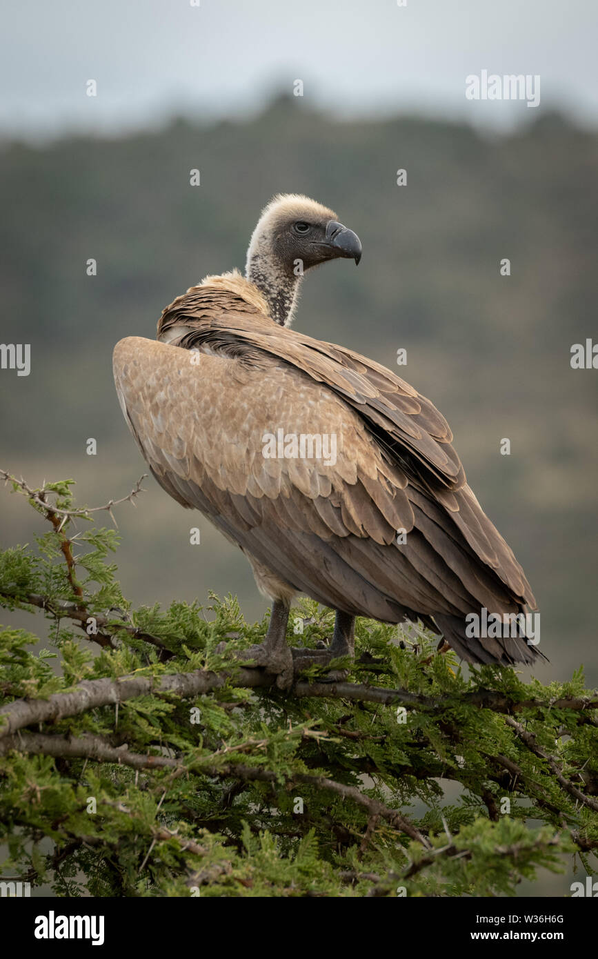 African white-backed vulture in tree looking back - Stock Image