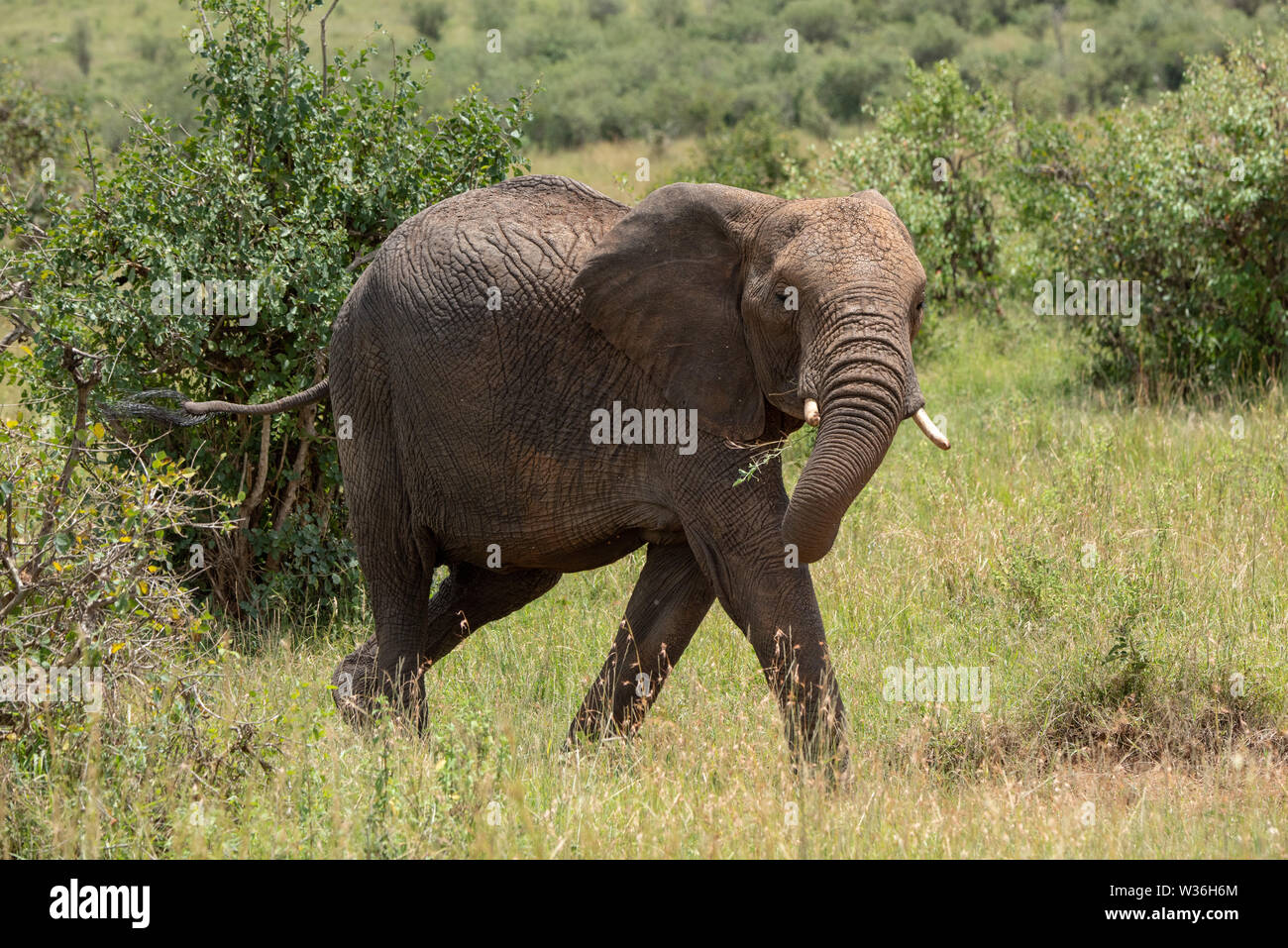 African elephant walks through bushes swinging trunk - Stock Image