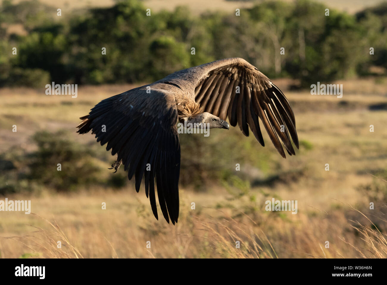 African white-backed vulture flies over long grass - Stock Image