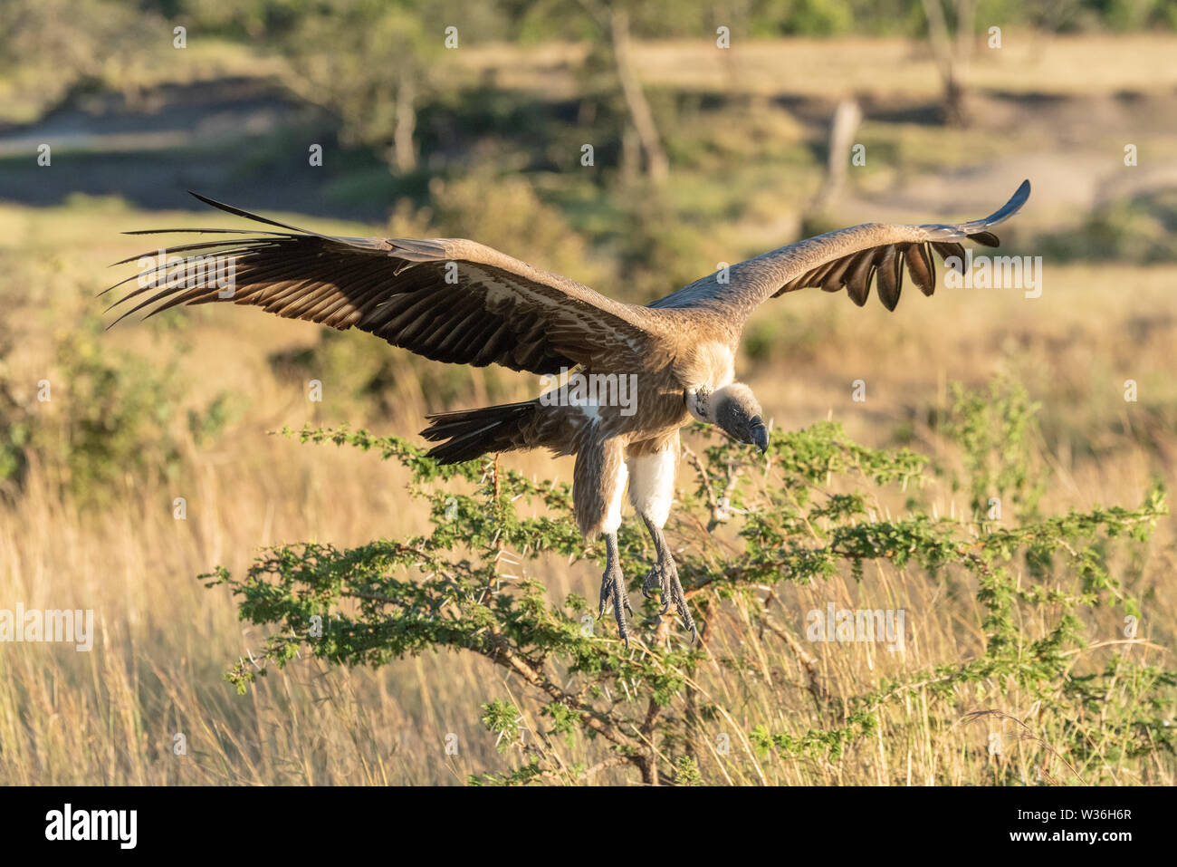 African white-backed vulture comes in for landing - Stock Image