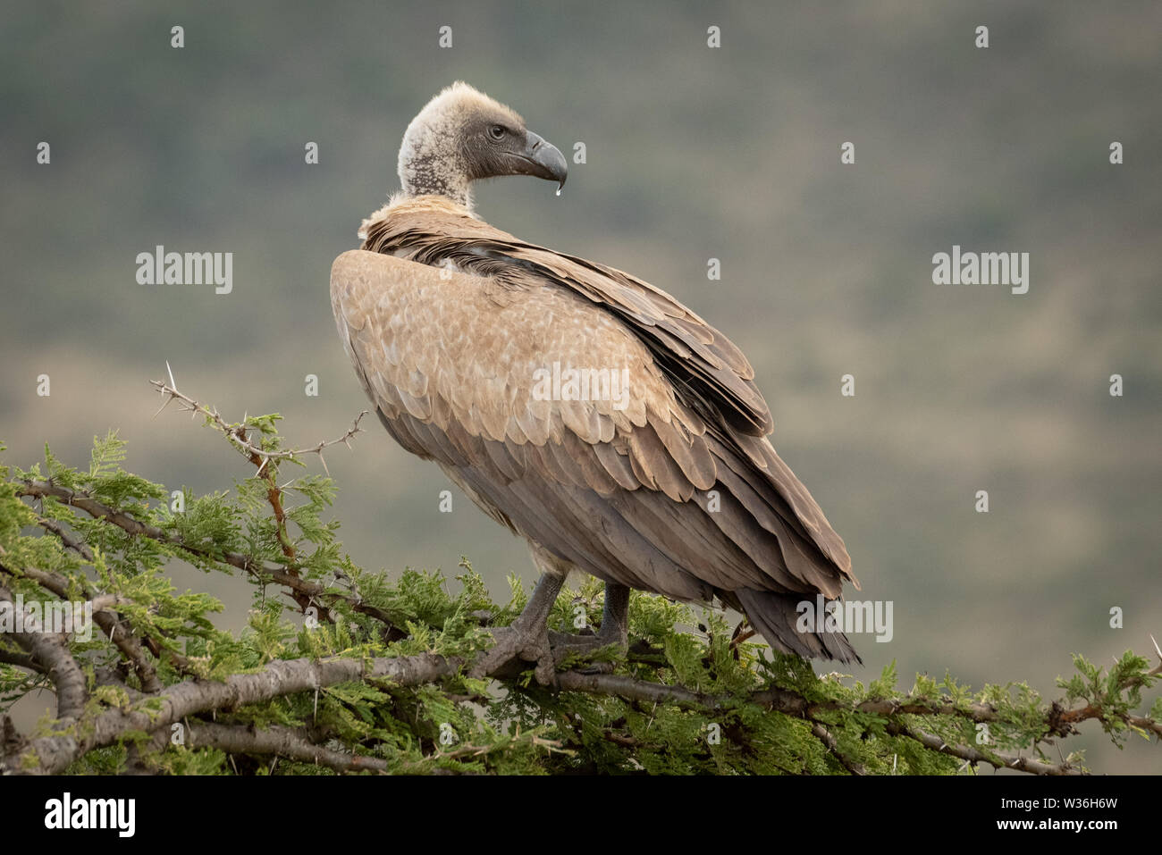 African white-backed vulture on branch looking back - Stock Image
