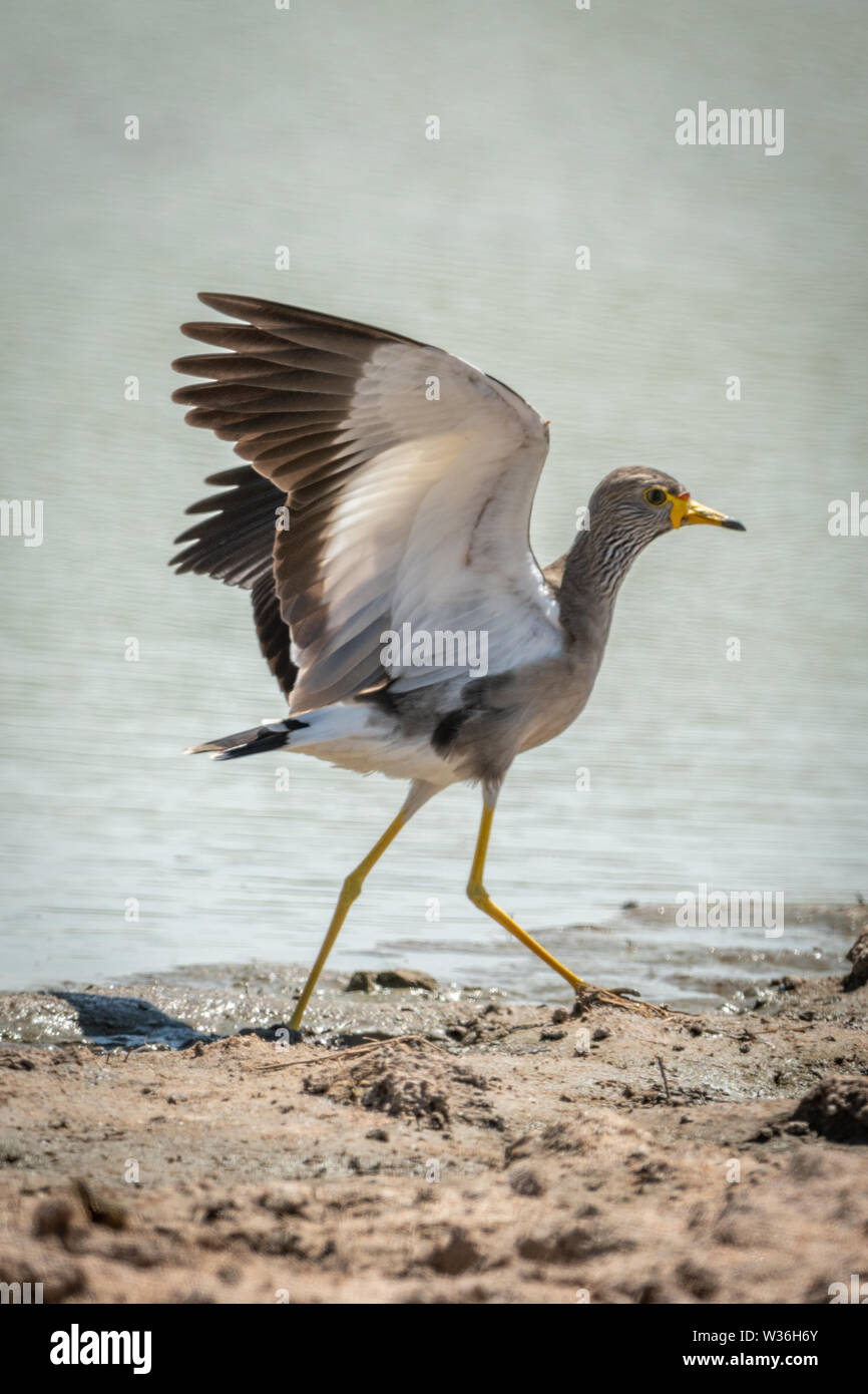 African wattled lapwing lands with wings raised - Stock Image