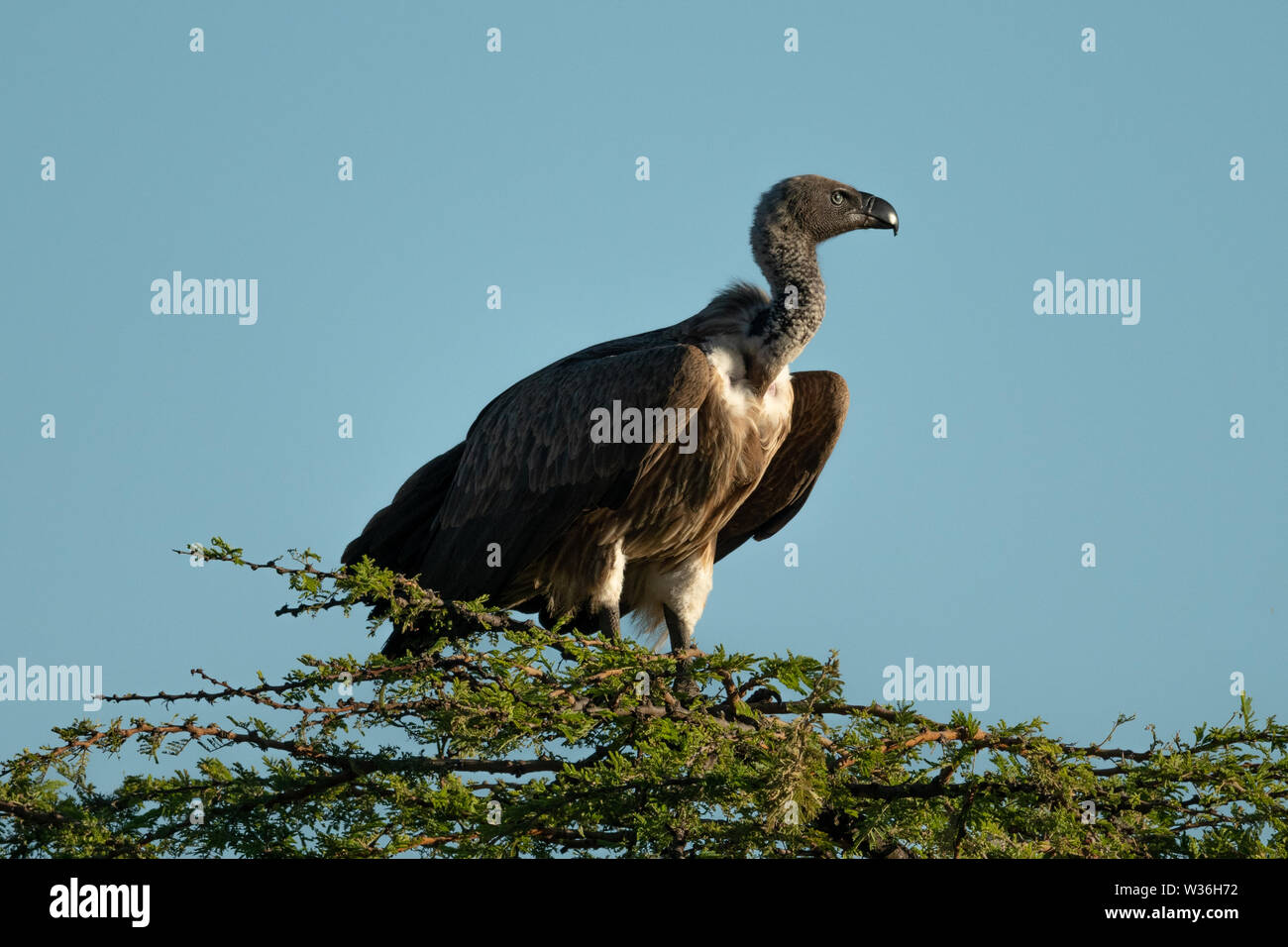 African white-backed vulture perches atop leafy tree - Stock Image