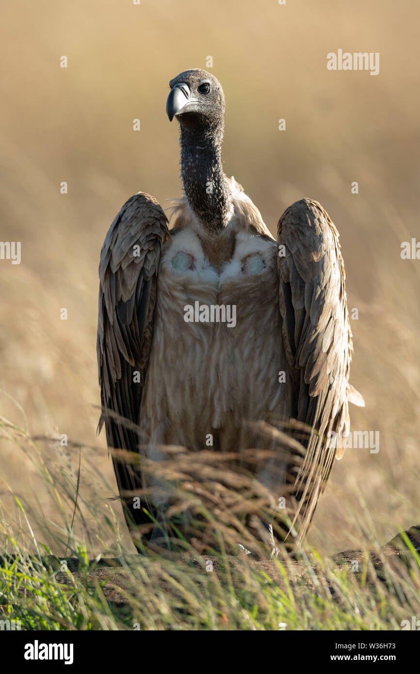 African white-backed vulture in grass eyeing camera - Stock Image