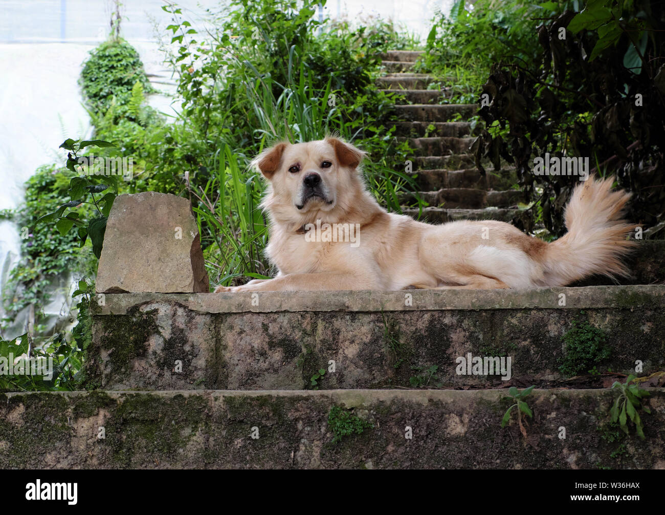 White long hair male dog lay on step and look in front for watch home, pet on old stone stairs on day - Stock Image