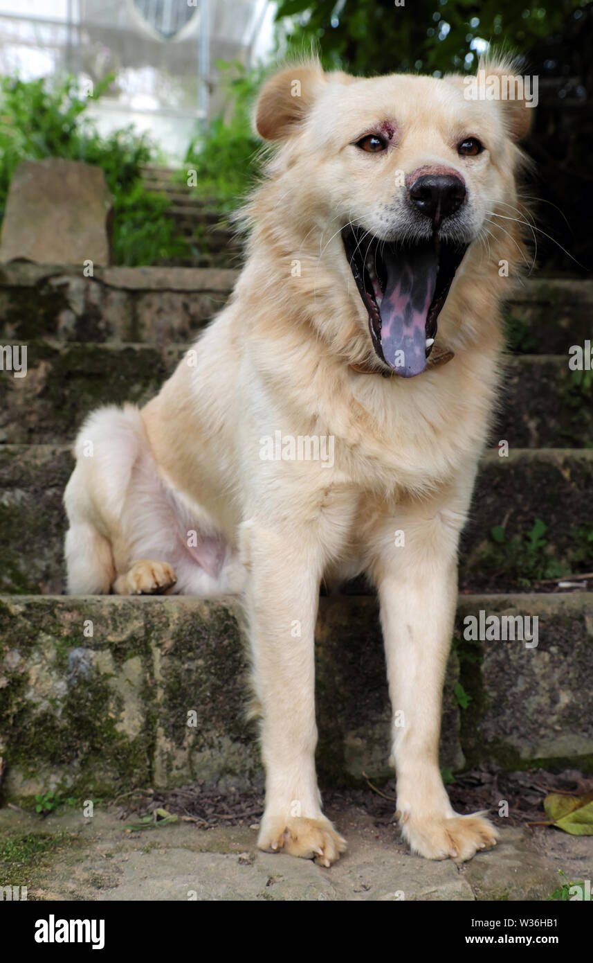White long hair male dog sit on step and yawn, pet on old stone stairs on day - Stock Image