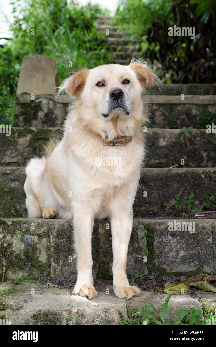 White long hair male dog sit on step and look in front for watch home, pet on old stone stairs on day - Stock Image